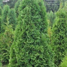Туя западная колоновидная Колумна (Thuja occidentalis Columna) ФОТО Питомник растений Природа (57)