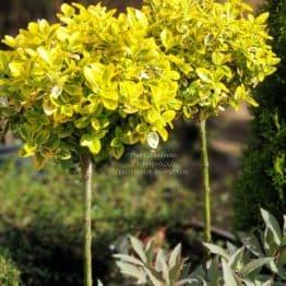 Бересклет Форчуна Эмералд Голд (Euonymus fortunei Emerald Gold) ФОТО Питомник растений Природа (1)