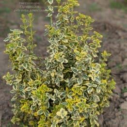 Бересклет Форчуна Эмералд Голд (Euonymus fortunei Emerald Gold) ФОТО Питомник растений Природа (7)