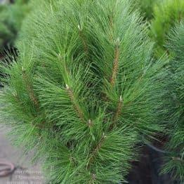 Сосна чёрная Пирамидалис (Pinus nigra Piramidalis) ФОТО Питомник растений Природа (6)