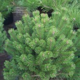 Сосна горная Гном (Pinus mugo Gnom) ФОТО Питомник растений Природа (1)