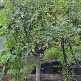 Тёрн на штамбе (Prunus spinosa) ФОТО Питомник растений Природа (14)